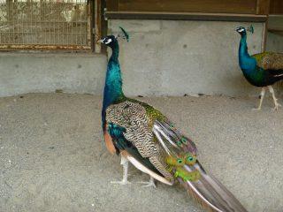 その他鳥類