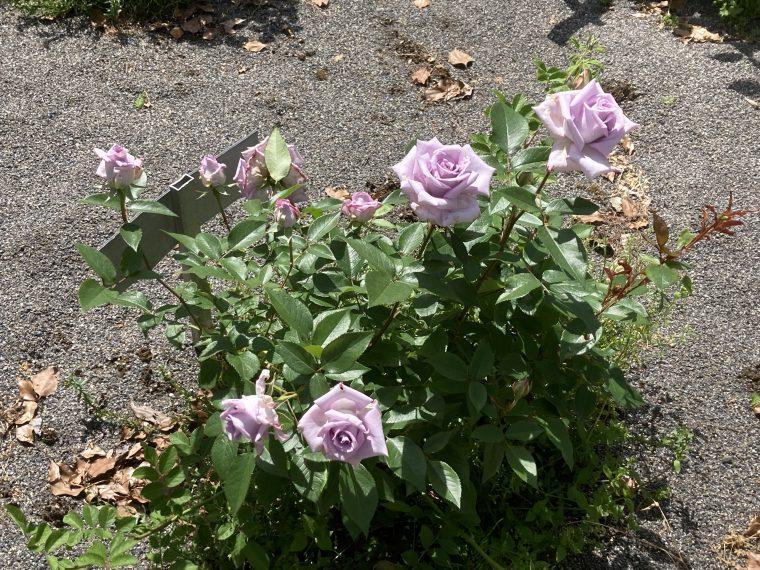 ●バラ園は、5/15~6月下旬まで開園します